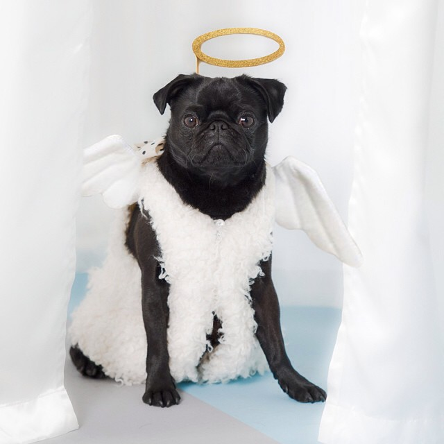 Petula the pug in an angel outfit